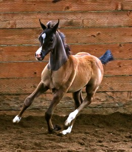 The filly Madison MF, out of Benraz Magnifique, at one month.