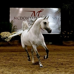 Maddow Van Ryad wins Liberty class at 2014 Scottsdale Arabian National Breeder Finals.